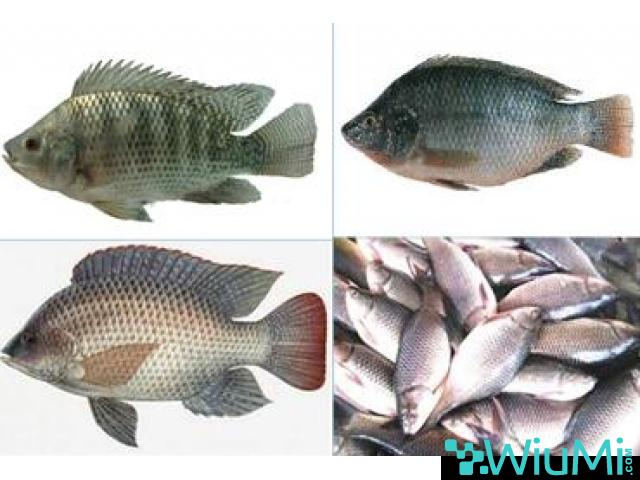 Probiotics For Fish Feed | Mineral Mixture Powder For Fishes - 3/5