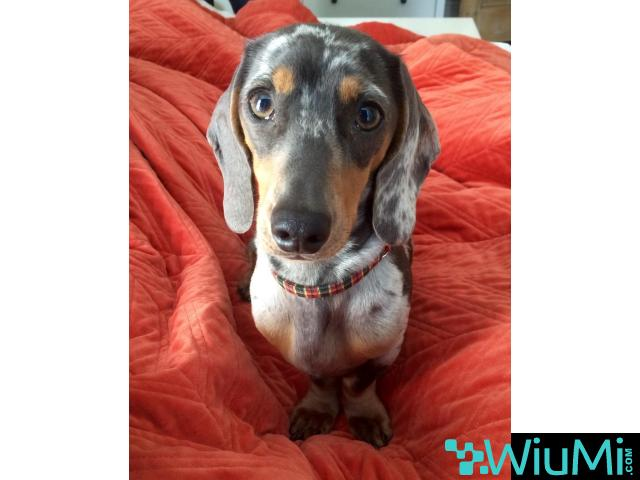 Male and Female Dachshund For Rehoming - 1/3