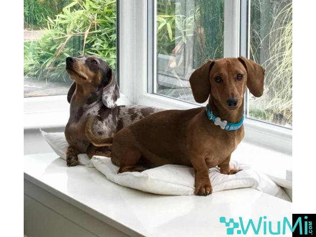 Male and Female Dachshund For Rehoming - 2/3