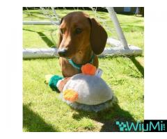 Male and Female Dachshund For Rehoming - Image 3/3