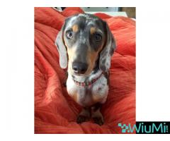 Male and Female Dachshund For Rehoming