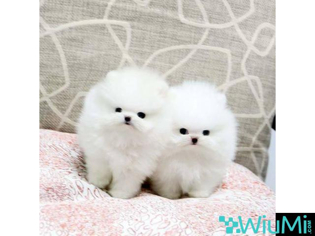 Adorable male and female Pomeranian puppies(+13236094052) - 1/3