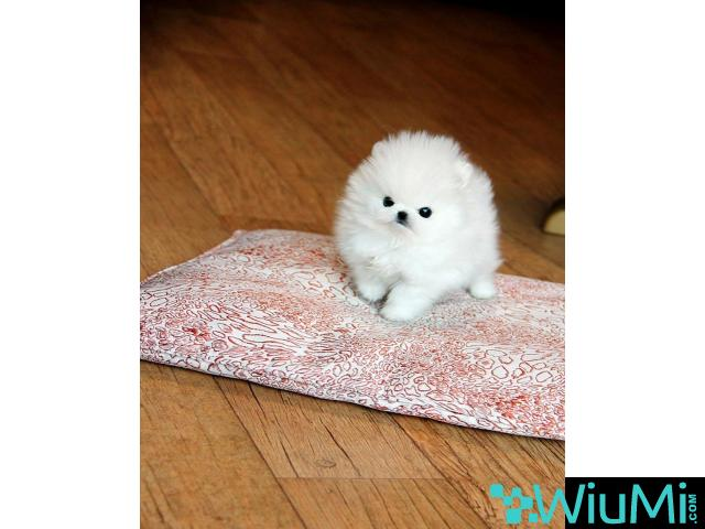 Adorable male and female Pomeranian puppies(+13236094052) - 2/3