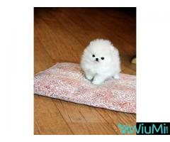 Adorable male and female Pomeranian puppies(+13236094052)