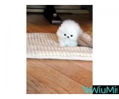 Adorable male and female Pomeranian puppies(+13236094052) - Image 3/3