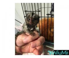 Cute pygmy marmoset and capuchin monkey for sale