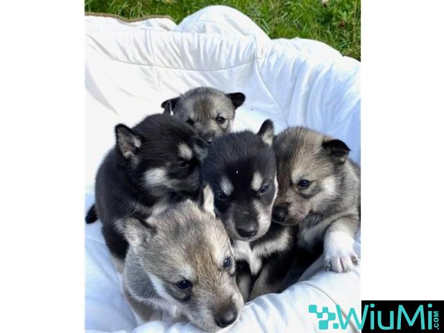 Male and female husky ready for adoption - 1/2