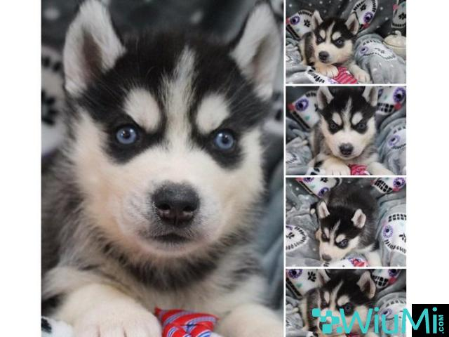 Male and female husky ready for adoption - 2/2