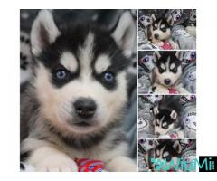 Male and female husky ready for adoption