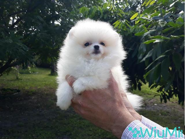 Elite Teacup ice white pomeranian puppy male, triple coat - 1/5