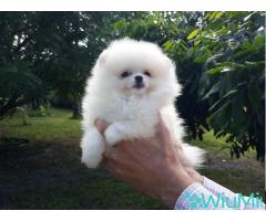 Elite Teacup ice white pomeranian puppy male, triple coat - Image 1/5
