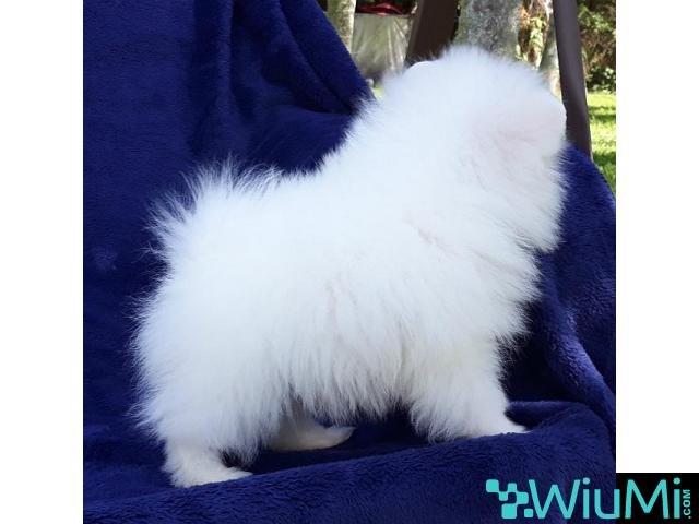 Elite Teacup ice white pomeranian puppy male, triple coat - 2/5
