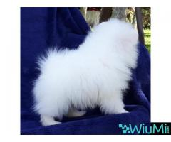 Elite Teacup ice white pomeranian puppy male, triple coat
