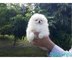 Elite Teacup ice white pomeranian puppy male, triple coat - Image 3/5