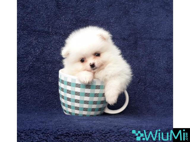 Elite Teacup ice white pomeranian puppy male, triple coat - 4/5