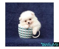Elite Teacup ice white pomeranian puppy male, triple coat - Image 4/5