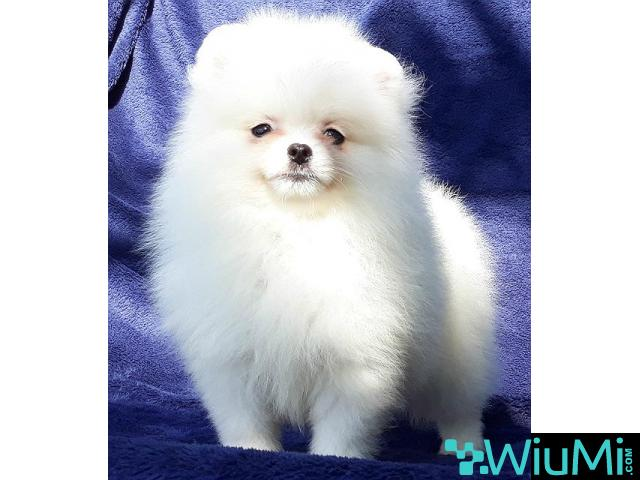 Elite Teacup ice white pomeranian puppy male, triple coat - 5/5