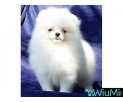 Elite Teacup ice white pomeranian puppy male, triple coat - Image 5/5