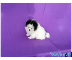 Pomeranian puppy male, parti-colored, thick coat