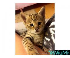 Serval male kitten for sale