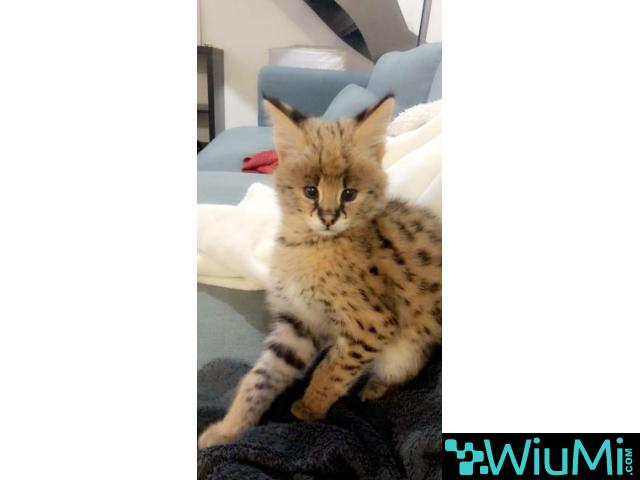 Savannah female kitten for sale - 1/1