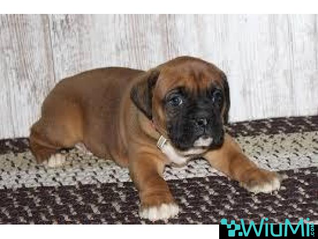 Regalo Adorable Cachorros Boxer, - 1/1