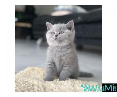 Bengal Cats For Sale - Image 2/2