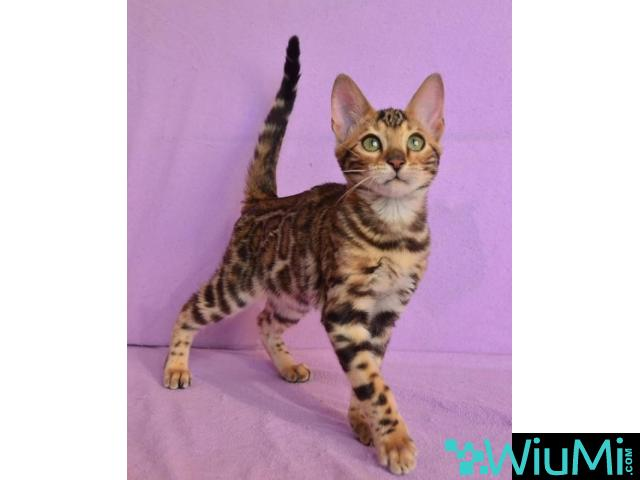 Bengal cat rescue - 1/1