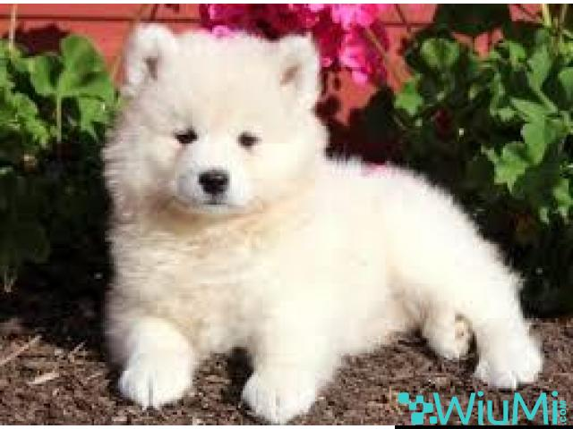 samoyed puppies for sale - 1/1