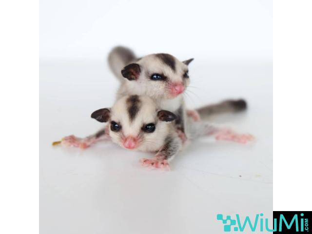 Sugar gliders for rehome - 1/1