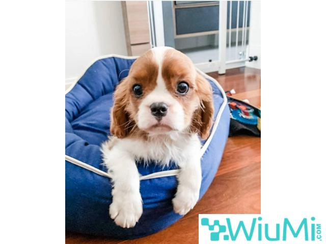 King charles puppy - 1/1