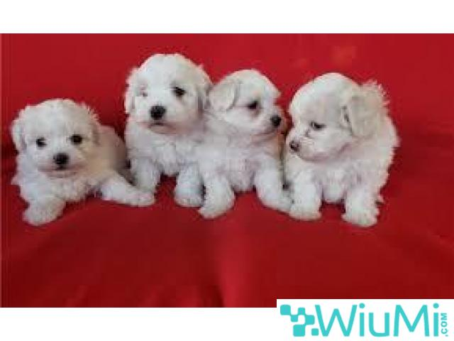 Charming teacup maltese puppies for adoption - 1/1