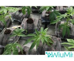 Eco-Friendly Medium for Growing Marijuana – The OMRI Certified Coir Products - Image 1/4