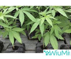Eco-Friendly Medium for Growing Marijuana – The OMRI Certified Coir Products - Image 2/4