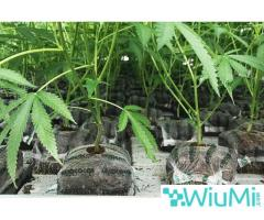 Eco-Friendly Medium for Growing Marijuana – The OMRI Certified Coir Products - Image 4/4