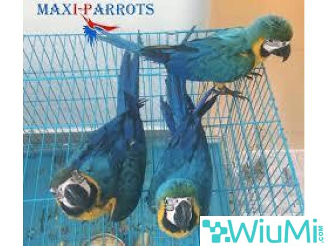 Blue and Gold Macaw Parrots on Sale - 1/2