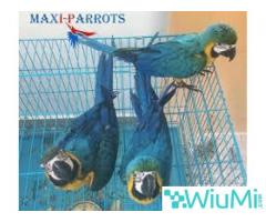 Blue and Gold Macaw Parrots on Sale - Image 1/2