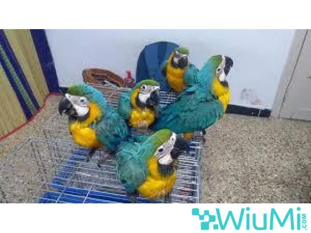 Blue and Gold Macaw Parrots on Sale - 2/2