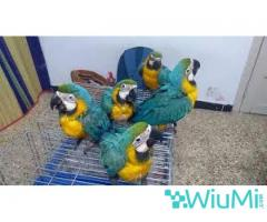 Blue and Gold Macaw Parrots on Sale - Image 2/2