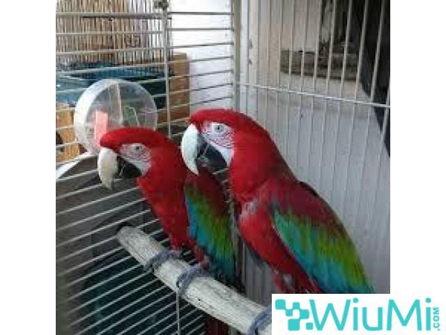 Green wing Macaw Parrots on Sale - 1/2