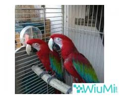 Green wing Macaw Parrots on Sale - Image 1/2