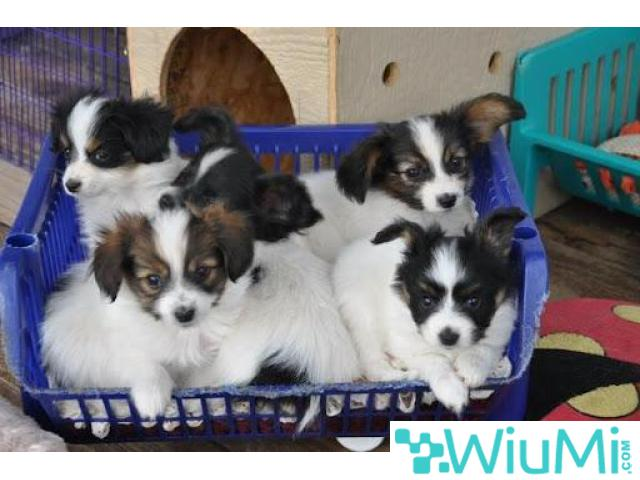 Champion bloodline  Papillon & Phalenes  Puppies males and females for sale - 1/4