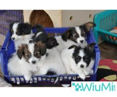 Champion bloodline  Papillon & Phalenes  Puppies males and females for sale - Image 1/4