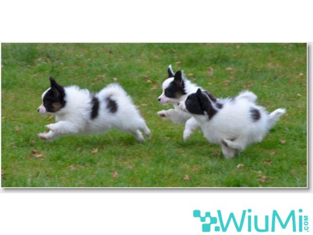 Champion bloodline  Papillon & Phalenes  Puppies males and females for sale - 2/4