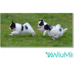 Champion bloodline  Papillon & Phalenes  Puppies males and females for sale - Image 2/4