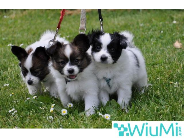 Champion bloodline  Papillon & Phalenes  Puppies males and females for sale - 3/4