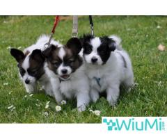 Champion bloodline  Papillon & Phalenes  Puppies males and females for sale - Image 3/4