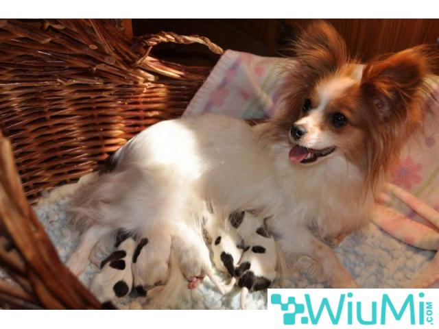 Champion bloodline  Papillon & Phalenes  Puppies males and females for sale - 4/4