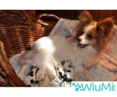 Champion bloodline  Papillon & Phalenes  Puppies males and females for sale - Image 4/4