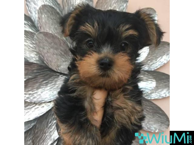 Friendly yorkshire terrier puppies for adoption - 1/3